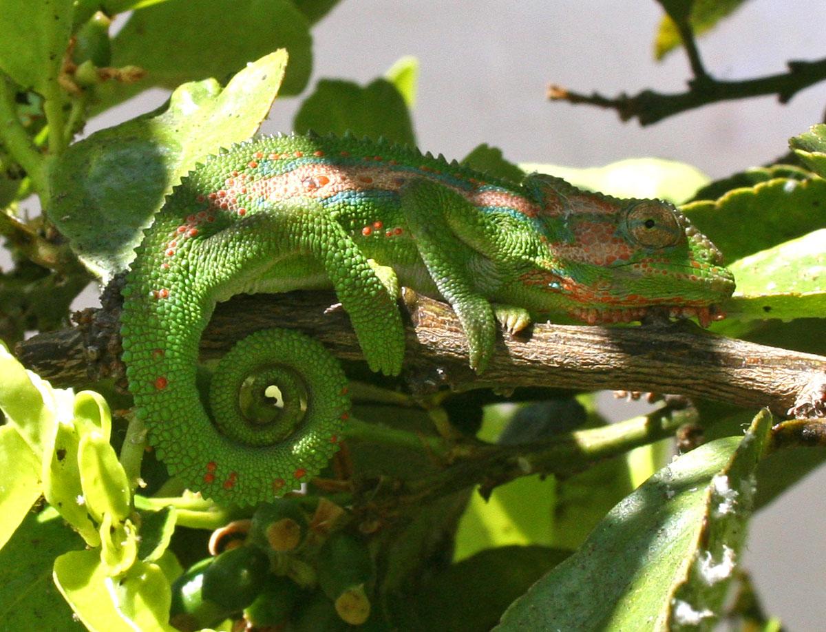 chameleon_0